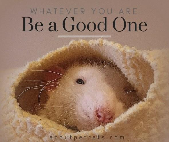 about pet rats, pet rats, pet rat, rats, rat, fancy rats, fancy rat, ratties, rattie, pet rat care, pet rat info, pet rat information