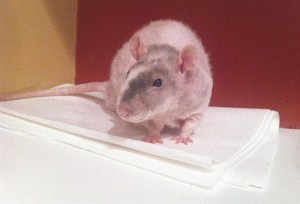 about pet rats, pet rats, pet rat, rats, rat, fancy rats, fancy rat, ratties, rattie, pet rat care, pet rat info, pet rat information, pet rat litter box, pet rat litter box training, pet rat behavior, pet rat urine marking, pet rat training, how to train pet rats to use litter box, training pet rats to urinate in litter box