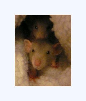 about pet rats, pet rats, pet rat, rats, rat, fancy rats, fancy rat, ratties, rattie, pet rat care, pet rat info, best pets, why rats are the best pet