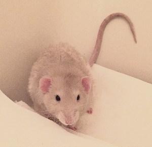 about pet rats, pet rats, pet rat, rats, rat, fancy rats, fancy rat, ratties, rattie, pet rat info, pet rat information, pet rat litter box, pet rat litter box training, pet rat behavior, pet rat urine marking, pet rat training