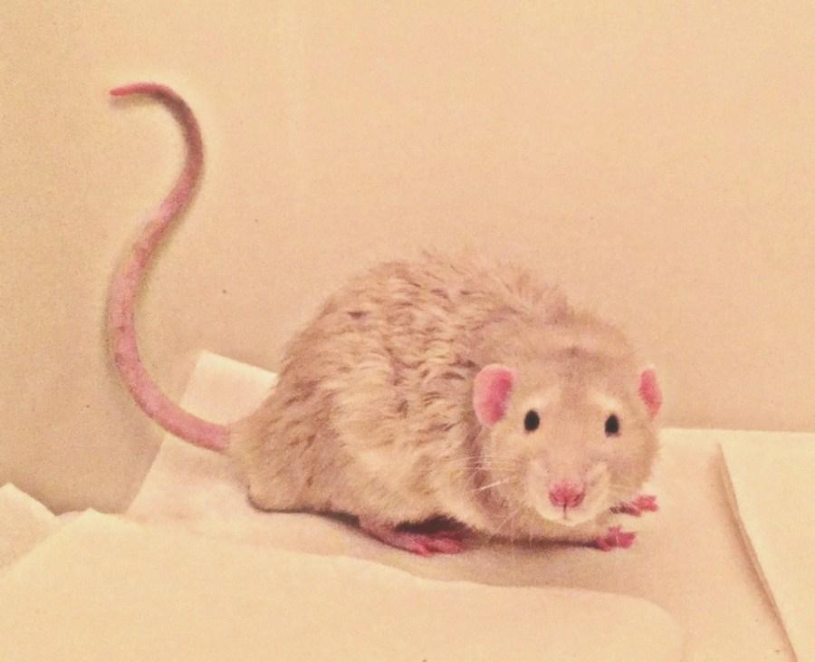 about pet rats, pet rats, pet rat, rats, rat, fancy rats, fancy rat, ratties, rattie, pet rat care, pet rat info, pet rat tail, pet rat tails, rat tails, pet rat litter box, pet rat litter box train, how do I litter box train my pet rat?, pet rat training, pet rat intelligence
