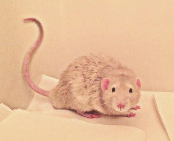 about pet rats, pet rats, pet rat, rats, rat, fancy rats, fancy rat, ratties, rattie, pet rat care, pet rat info, pet rat tail, pet rat tails, rat tails, pet rat litter box, pet rat litter box train, how do I litter box train my pet rat?, pet rat training, pet rat intelligence