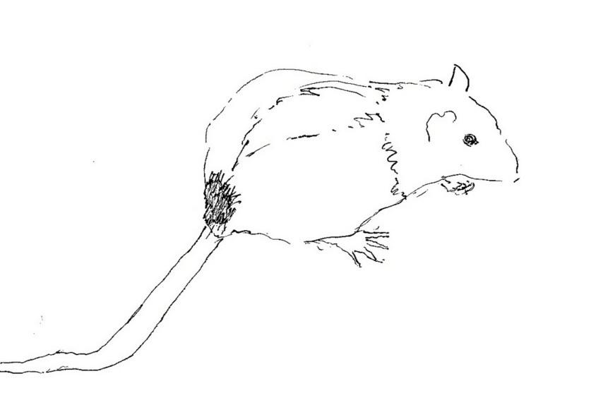 about pet rats, pet rats, pet rat, rats, rat, fancy rats, fancy rat, ratties, rattie, pet rat care, pet rat info, pet rat diet, pet rat nutrition, pet rat food