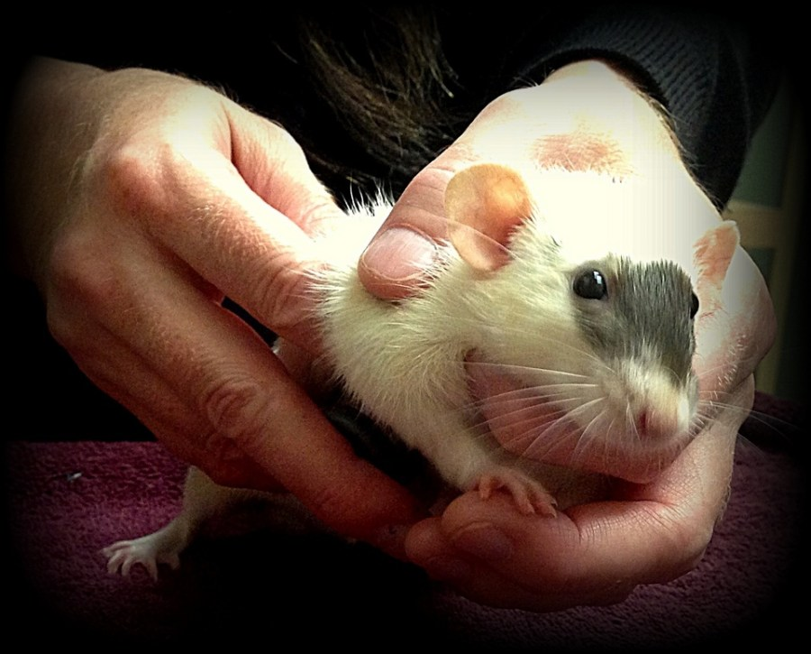 about pet rats, pet rats, pet rat, rats, rat, fancy rats, fancy rat, ratties, rattie, pet rat care, pet rat info, pet rat information, pet rat diagnostics, pet rat diagnostic tests, pet rat diagnostic test, pet rat veterinarian