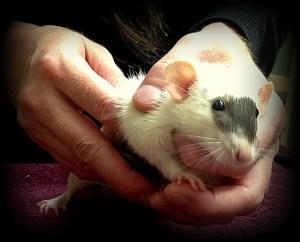 about pet rats, pet rats, pet rat, rats, rat, fancy rats, fancy rat, ratties, rattie, pet rat care, pet rat info, pet rat information, pet rat diagnostics, pet rat diagnostic tests, pet rat diagnostic test, pet rat veterinarian