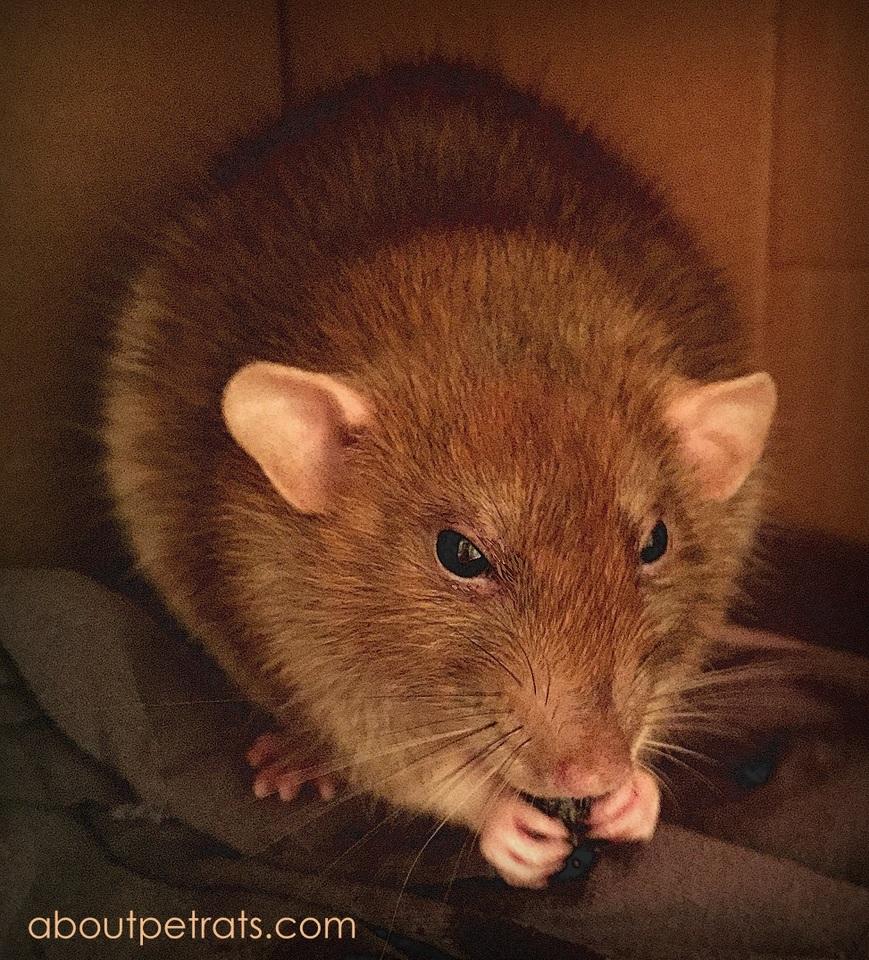 about pet rats, pet rats, pet rat, rats, rat, fancy rats, fancy rat, ratties, rattie, pet rat care, pet rat info, best pet, cute pets, pet rat supplies, pet rat chew, pet rat chewing, rat chew, rat chewing