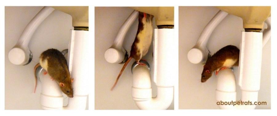 about pet rats, pet rats, pet rat, rats, rat, fancy rats, fancy rat, ratties, rattie, pet rat care, pet rat info, best pet, cute pets, pet rat supplies, travel with rats, travel with pet rats
