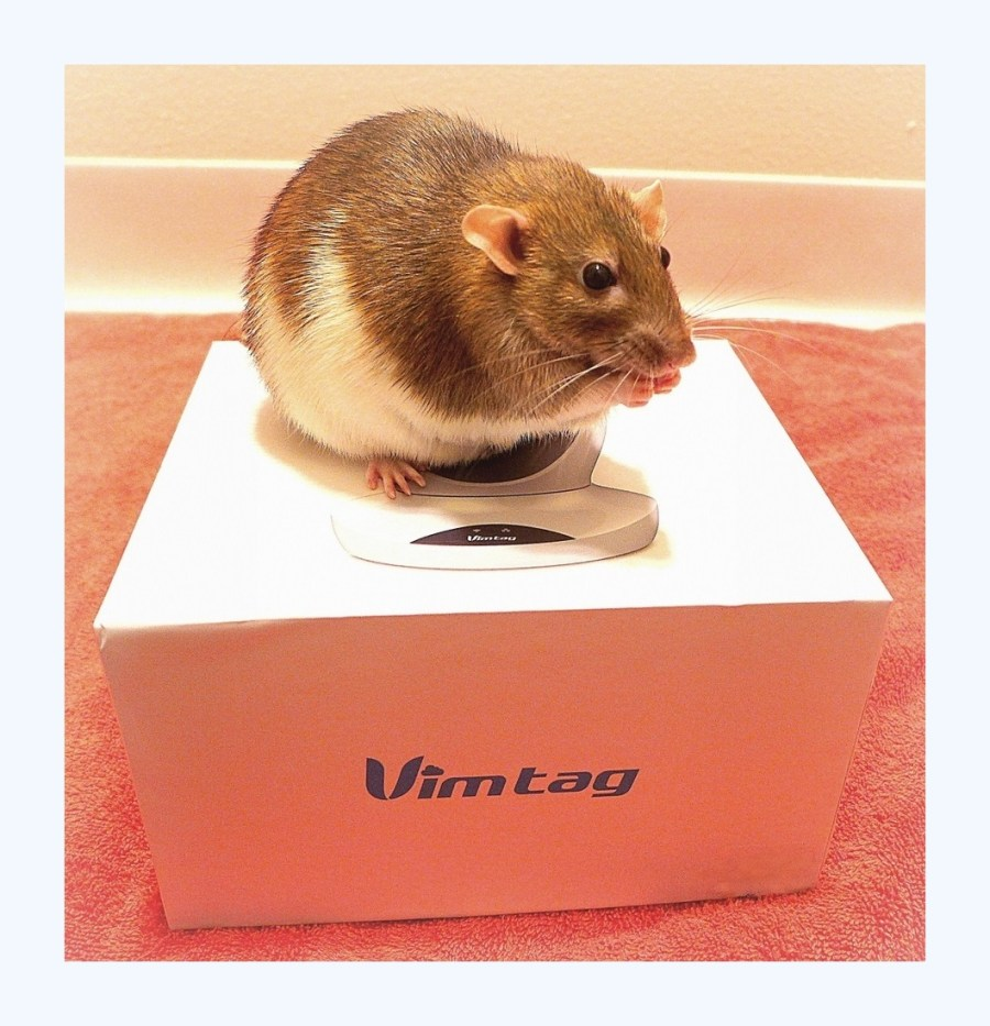 about pet rats, pet rats, pet rat, rats, rat, fancy rats, fancy rat, ratties, rattie, pet rat care, pet rat info, pet rat supplies, pet rat webcam, pet rat video cam, pet rat monitor, Vimtag pet monitor, Vimtag, Vimtag video surveillance camera, Vimtag camera, Vimtag security camera, Vimtag review, Vimtag camera review