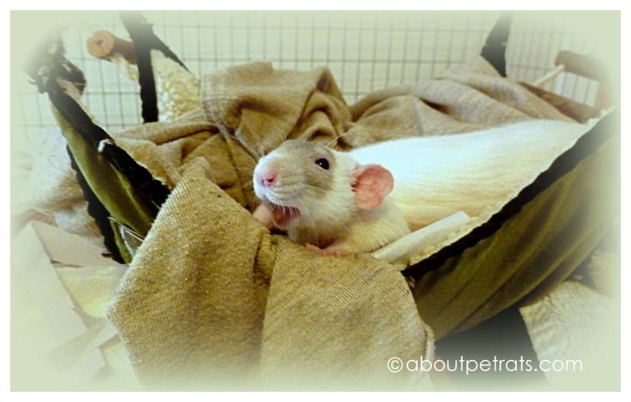 about pet rats, pet rats, pet rat, rats, rat, fancy rats, fancy rat, ratties, rattie, pet rat care, pet rat info, best pet, cute pets, pet rat supplies, pet rat hammock