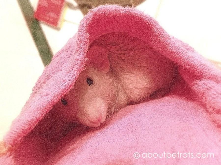 about pet rats, pet rats, pet rat, rats, rat, fancy rats, fancy rat, ratties, rattie, pet rat care, pet rat info, pet rat information, when to separate pet rats, should I separate my pet rats?, For how long should I separate my pet rats?, Do my pet rats need to be separated?, Reasons to separate pet rats, needs of baby pet rats, can baby pet rats live with adults?, can baby pet rats be introduced to adult male pet rats?