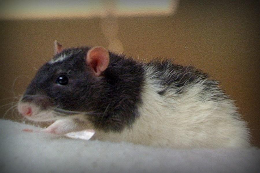 pet rat health, pet rat vet, pet rat vet care, pet rat surgery, about pet rats, pet rats, pet rat, rats, rat, fancy rats, fancy rat, ratties, rattie, pet rat info, pet rat information, pet rat neuter