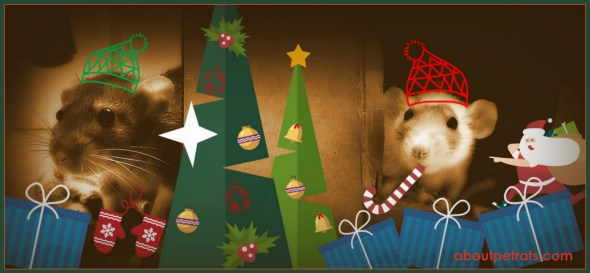 #pet rat christmas #pet rat holiday #pet rat fun #about pet rats #pet rat #pet rats