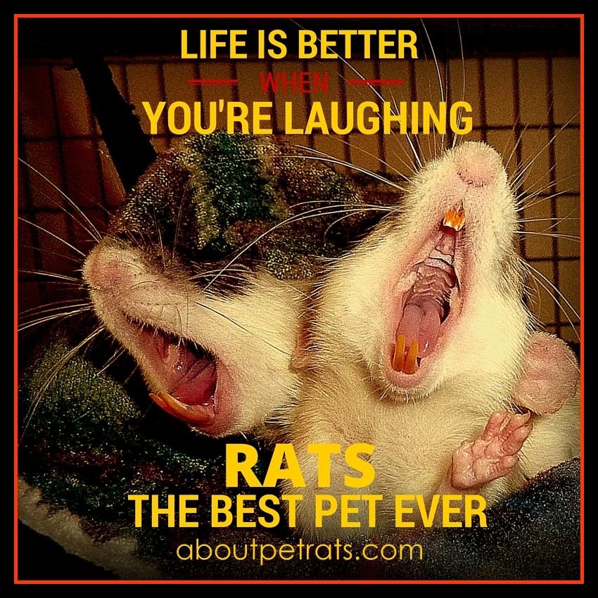 best pet, cutest pet, cute pets, rats make me smile, about pet rats, pet rats, pet rat, rats, rat, fancy rats, fancy rat, ratties, rattie, pet rat info, pet rat care, pet rat supplies,