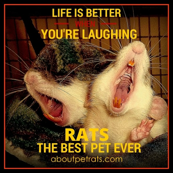 best pet, cutest pet, cute pets, rats make me smile, about pet rats, pet rats, pet rat, rats, rat, fancy rats, fancy rat, ratties, rattie, pet rat info, pet rat care, pet rat supplies,