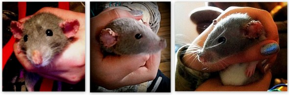 Meg initially only had her ears affected by mange mites (far left photo) and then it progressed to her nose (right two photos)