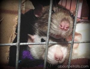 about pet rats, pet rats, pet rat, rats, rat, fancy rats, fancy rat, ratties, rattie, pet rat care, pet rat info, why does my pet rat cage smell?, stinky rat cage, clean pet rat cage, pet rat odor, pet rat bad smell, pet rat sense of smell, bad smell damaging to pet rats