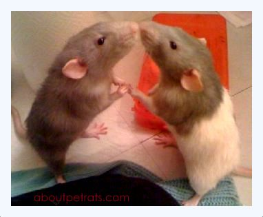how to tell if rats are fighting or playing