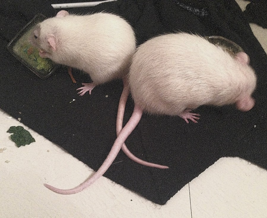 about pet rats, pet rats, pet rat, rats, rat, fancy rats, fancy rat, ratties, rattie, pet rat care, pet rat info, pet rat information, pet rat heat, pet rat overheat, what to do if my rat's too hot?, pet rat in summer heat, cooling off pet rat, pet rat heatstroke, pet rat overheated, pet rat too hot, pet rat temperature, pet rat temperatures, pet rat safe temperature