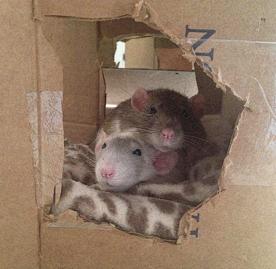 about pet rats, pet rats, pet rat, rats, rat, fancy rats, fancy rat, ratties, rattie, pet rat care, pet rat info, best pet, cutest pet, cute pet, pet rat information, pet rat supplies, pet rat cage