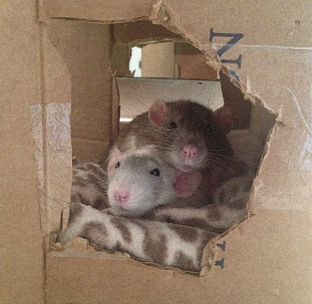 What To Put Inside Your Pet Rat Cage About Pet Rats