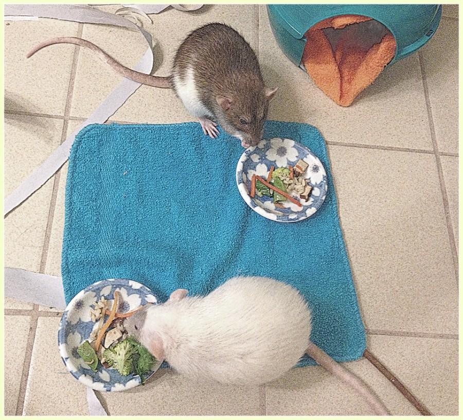 pet rats food