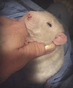 about pet rats, pet rats, pet rat, rats, rat, fancy rats, fancy rat, ratties, rattie, pet rat care, pet rat info, pet rat information, pet rat porphyrin, pet rat bleeding from nose, pet rat bleeding from eye, pet rat red discharge, pet rat harderian gland, pet rat health, pet rat medical, pet rat stress symptom, porphyrin, Harderian gland
