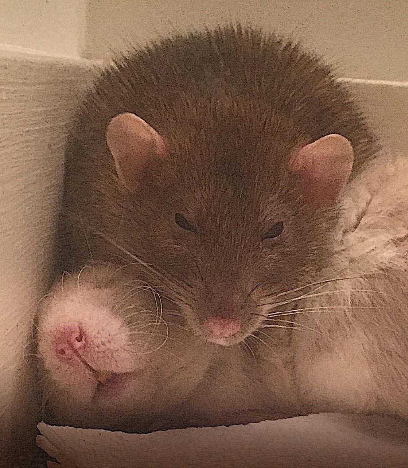 about pet rats, pet rats, pet rat, rats, rat, fancy rats, fancy rat, ratties, rattie, pet rat care, pet rat info, pet rat male, male pet rat, female pet rat, male vs female pet rats, female vs male pet rats