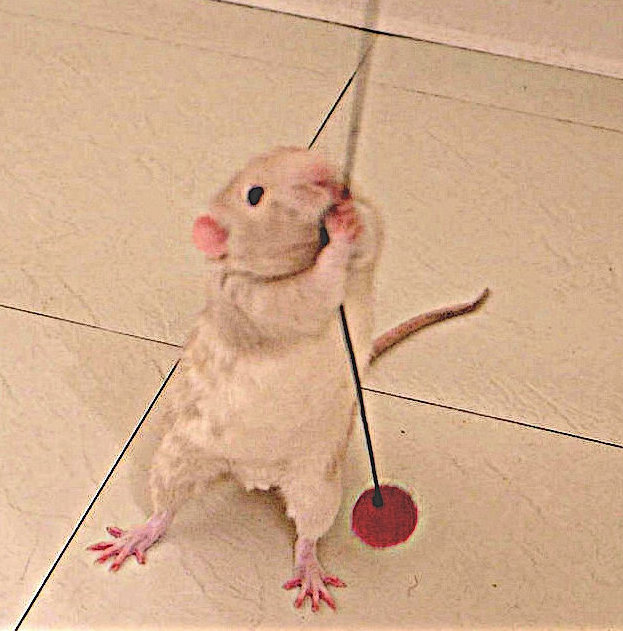 #pet rats #rats #pet rat play #pet rat toy #cute pets