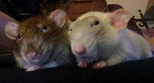 about pet rats, pet rats, pet rat, rats, rat, fancy rats, fancy rat, ratties, rattie, pet rat care, pet rat info, pet rat supplies, best pet, pet rat free roam, pet rat room, pet rat room protect, pet rat room protection
