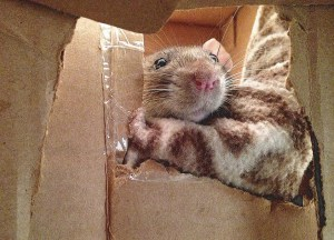 about pet rats, pet rats, pet rat, rats, rat, fancy rats, fancy rat, ratties, rattie, pet rat care, pet rat info, why does my pet rat cage smell?, stinky rat cage, clean pet rat cage, pet rat odor, pet rat bad smell,