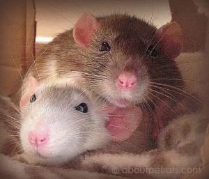 about pet rats, pet rats, pet rat, rats, rat, fancy rats, fancy rat, ratties, rattie, pet rat care, pet rat info, pet rat information, pet rat introductions, pet rat intros, always have at least two pet rats
