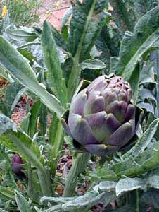 A ripe artichoke
