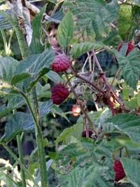Raspberries growing on the bush