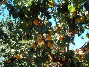 Branches, each with dozens of apricots, ben with the weight of the fruit.