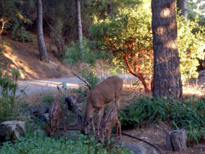 A doe and two fawns drink from the pond