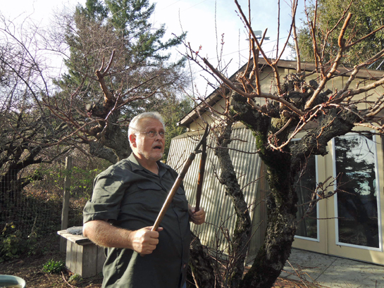 Earl uses large pruners to trim apricot tree