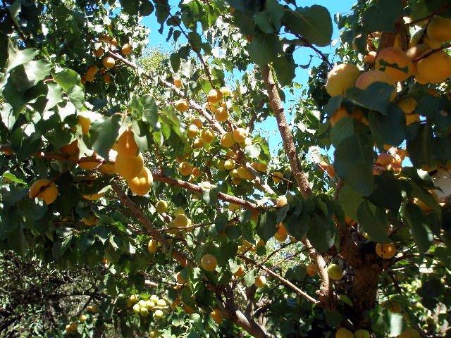 many ripe apricots in tree