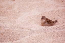 Bird-nestled-in-sand-maui