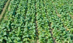 A field of tobacco plants. Indonesia has more than 500,000 tobacco fields feeding the national and international markets. Photograph: Alamy Stock Photo