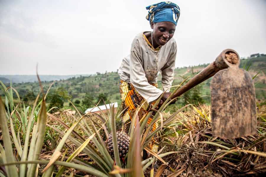 Valerie Mukangerero (53 yrs) works in her pinapple farm in Rwamurema village,Eastern Rwanda,Kirehe District. Since joining the Tuzamurane cooperative, Valerie feels very empowered and has saved enough money to buy a cow and support her family.