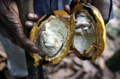 A farmer holds an open, ripe cocoa pod on a farm outside of Kumasi, Ghana. Photographer: JANE HAHN/Bloomberg