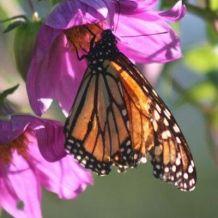 Monarch butterfly feeding on purple flower