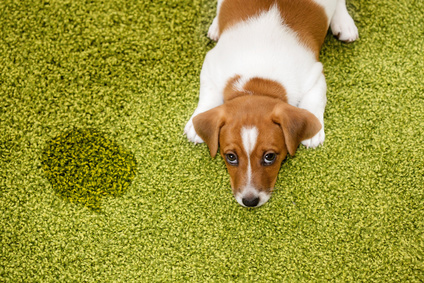 Pet stain removal - diy vs. profesisonal