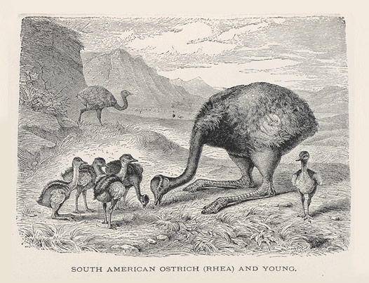 South American Ostrich (Rhea) and young