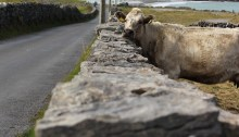 Photoessay: Animals of the Aran Islands