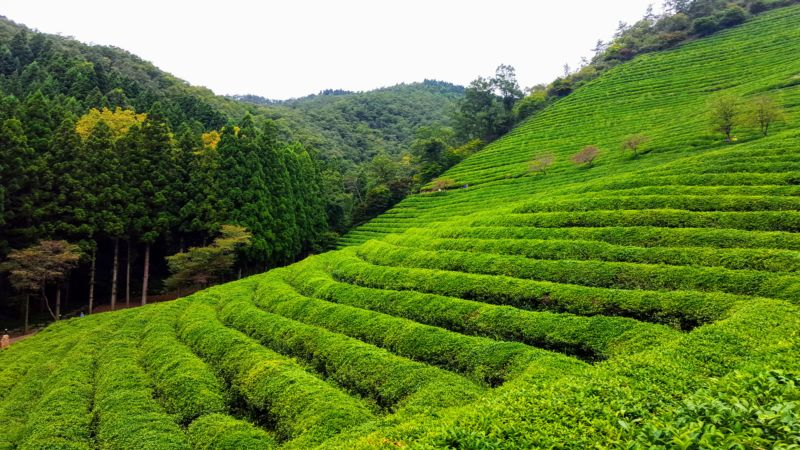 My Awesome Backyard: Boseong's Green Tea Fields