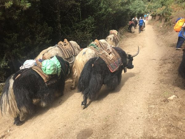 Literal herds of trekkers fill the path between Namche Bazaar and Tengboche