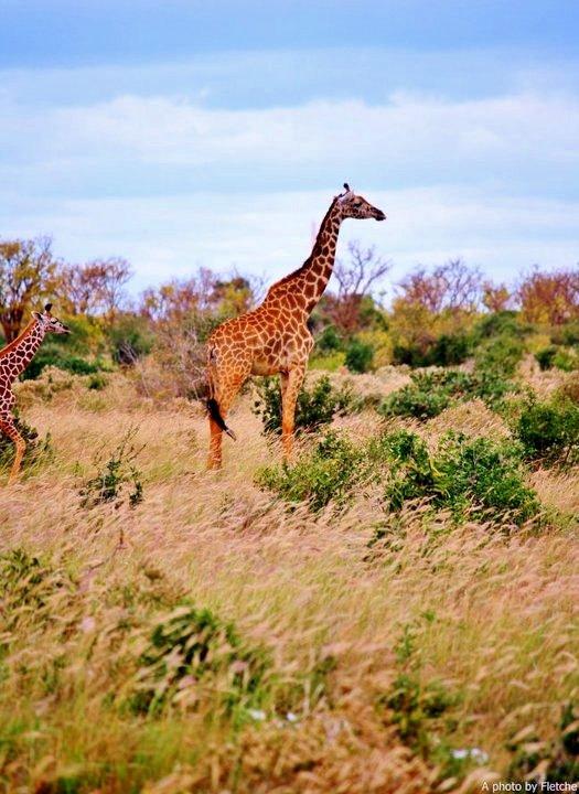 giraffe, tsavo east, kenya