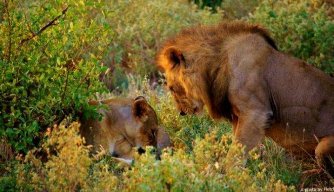 lions, tsavo east, kenya
