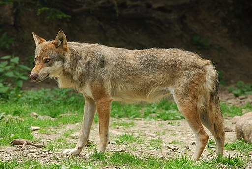 By Gilles PRETET (Boréon: Un Loup. Uploaded by Mariomassone) [CC BY 2.0 (http://creativecommons.org/licenses/by/2.0)], via Wikimedia Commons
